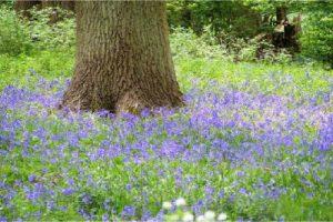 ashton-bluebells