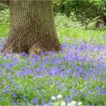 Bluebells - Ashton Wold